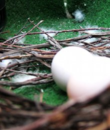 яйца, гнездо, гълаби, птица, балкон, апартамент